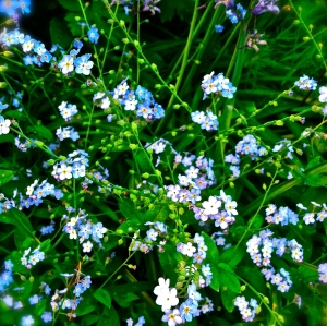 Forget Me Nots, Oregon Summer. MomsicleBlog