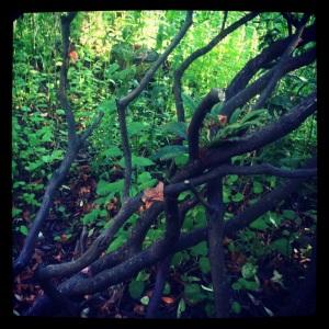 Rhododendrons, OregonSummer. MomsicleBlog