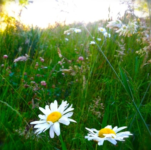 Daisies, OregonSummer. MomsicleBlog