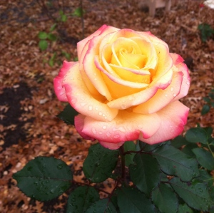 A rose from my garden. MomsicleBlog