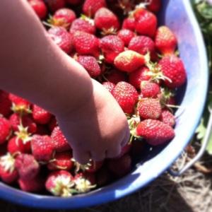 Hood Strawberry Picking Oregon. MomsicleBlog